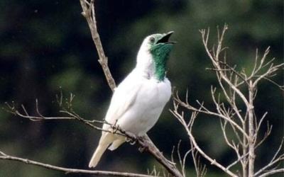 El pájaro campana