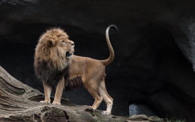Un hombre combate con un león