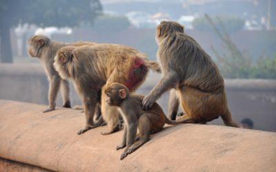 Monos ciudadanos